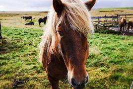 Характеристика лошади Исландской породы