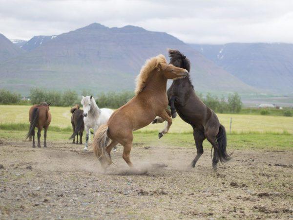 Снится агрессивная лошадь
