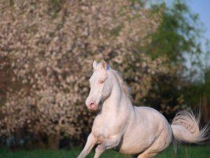 Характеристика породы Изабелловская лошадь