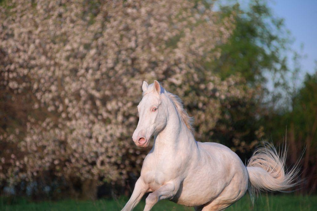 Виды и породы изабелловой масти лошадей