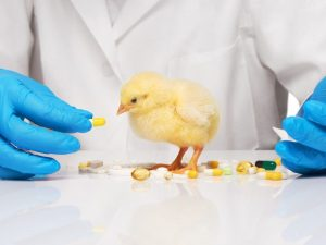 Использование Йодинола для лечения цыплят