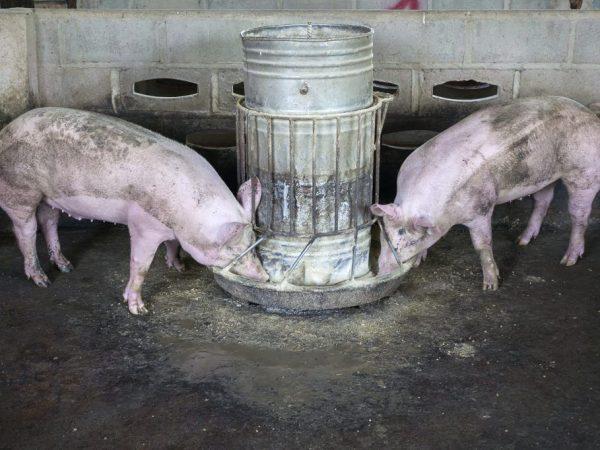 Как и чем кормить свинью на сало