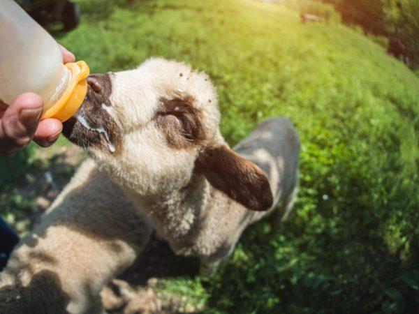 Как выкормить ягненка