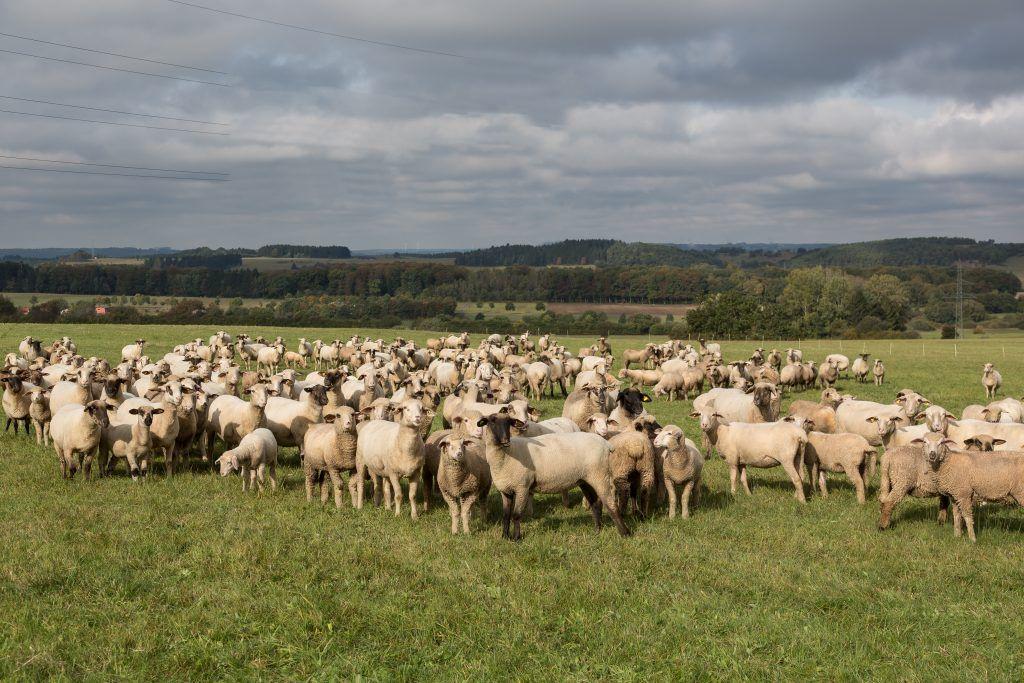Характеристика овец Катумской породы