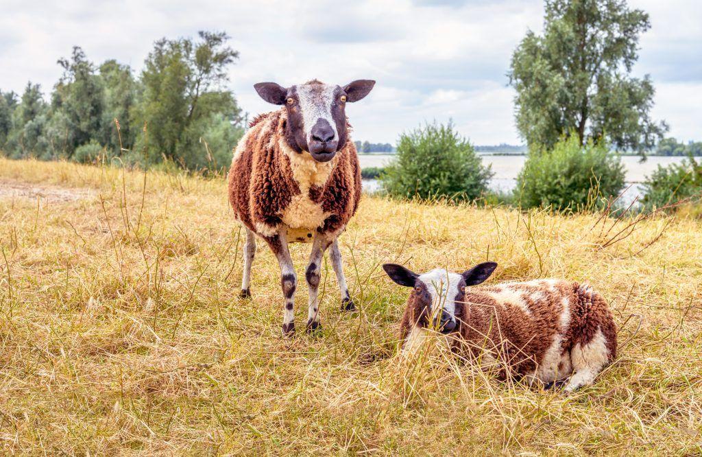 Внешний вид Катумских овец