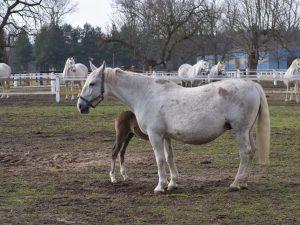 Характеристика лошадей Кладрубской породы