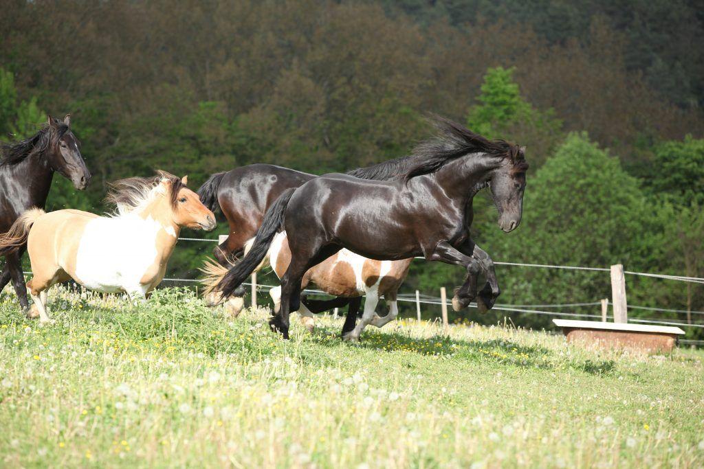 Масть Кладрубских лошадей