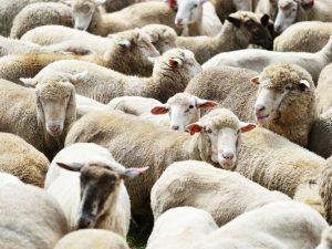 Как подобрать клички для овец и баранов