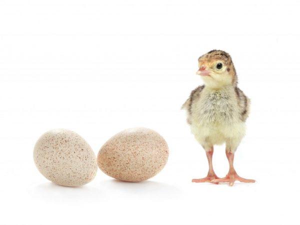 Подходящий возраст для яйценоскости индюшек