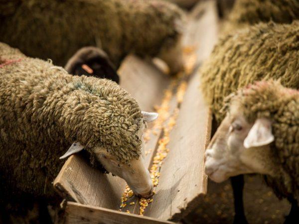Процесс питания овец