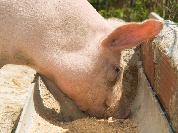 Кормление свинок