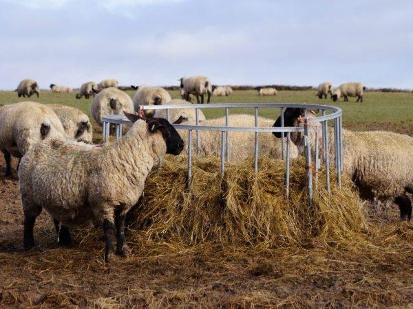 Питание овец Романовской породы