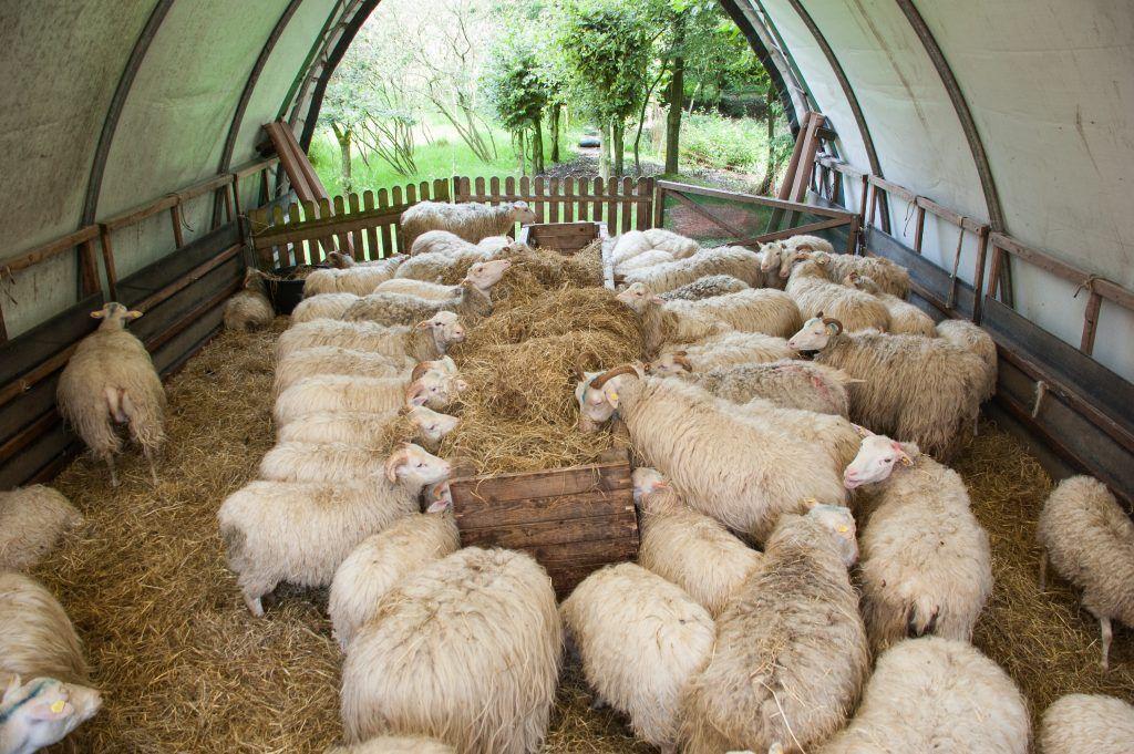 Основы содержания овец