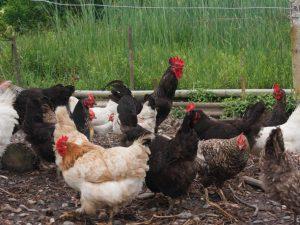 Костная и мясокостная мука для кур