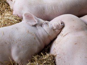 Описание свиньи породы крупная белая