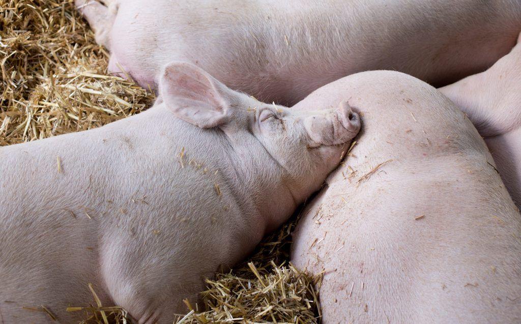 Крупная белая свинья характеристика породы