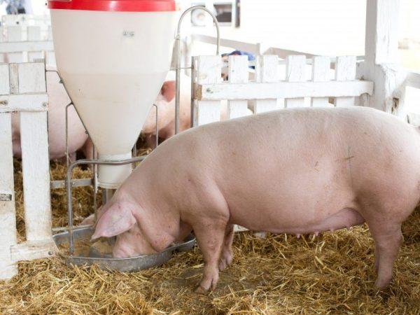 Разведение свиней породы Крупная Белая