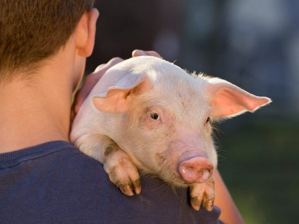 Прирост свиньи зависит от содержания