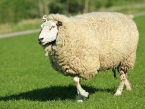 Характеристика Куйбышевской породы овец