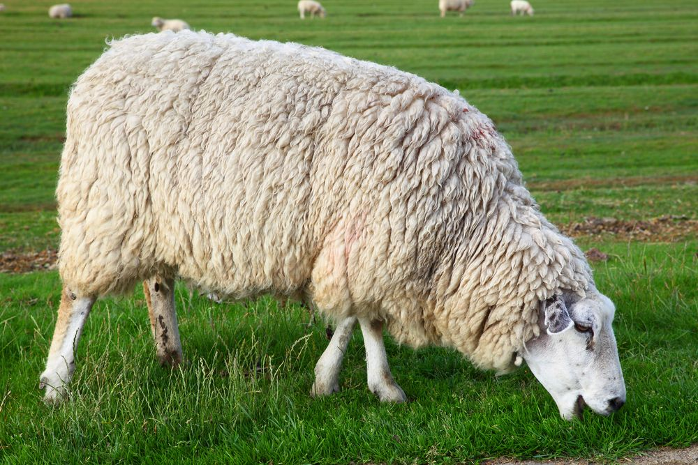 Внешний вид овцы Куйбышевской породы