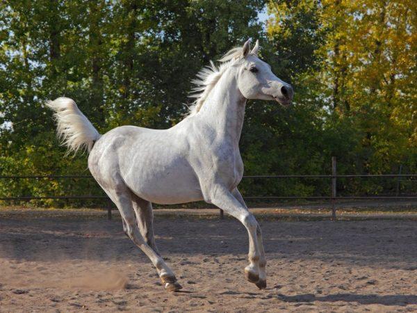 Выполнение лошадиного галопа