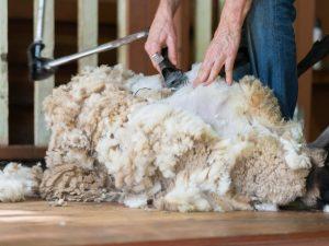 Электрическая машинка для стрижки овцы
