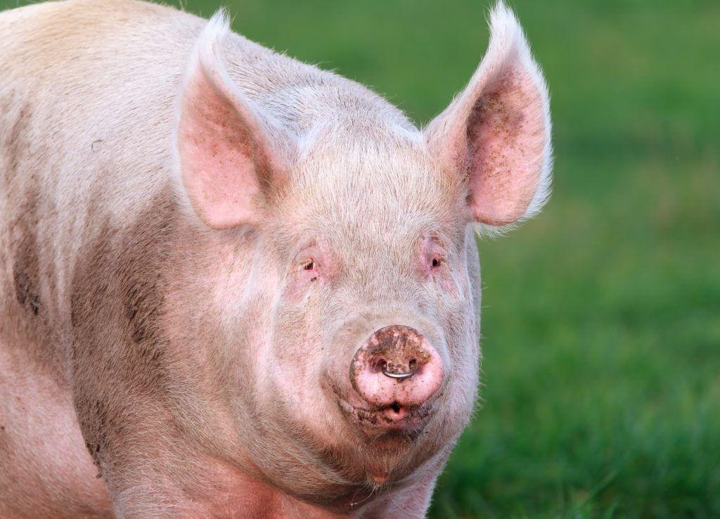 Породы свиней американская свинья