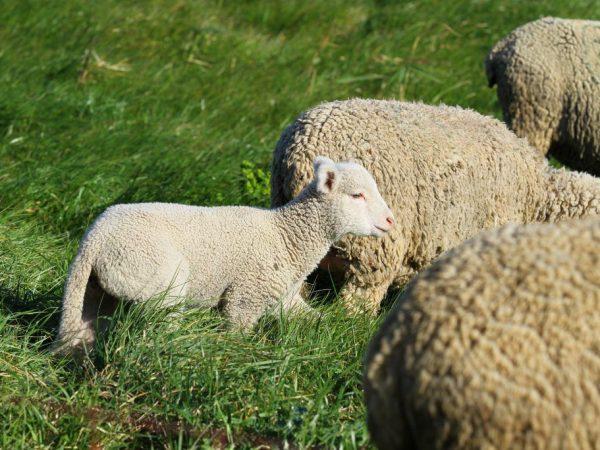 Разновидности овец мясных пород