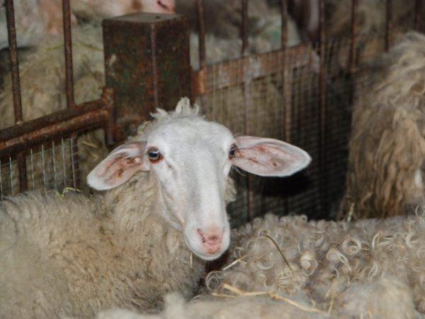 Порода овец Джайдара