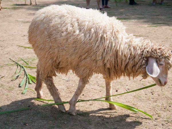 Таджикская порода овец