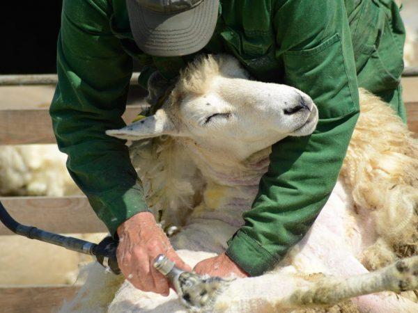 Процесс стрижки овец