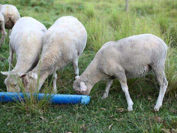 Овцам и баранам необходим правильный уход