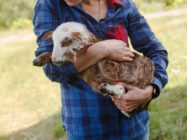 Хозяин должен следить за здоровьем овцы
