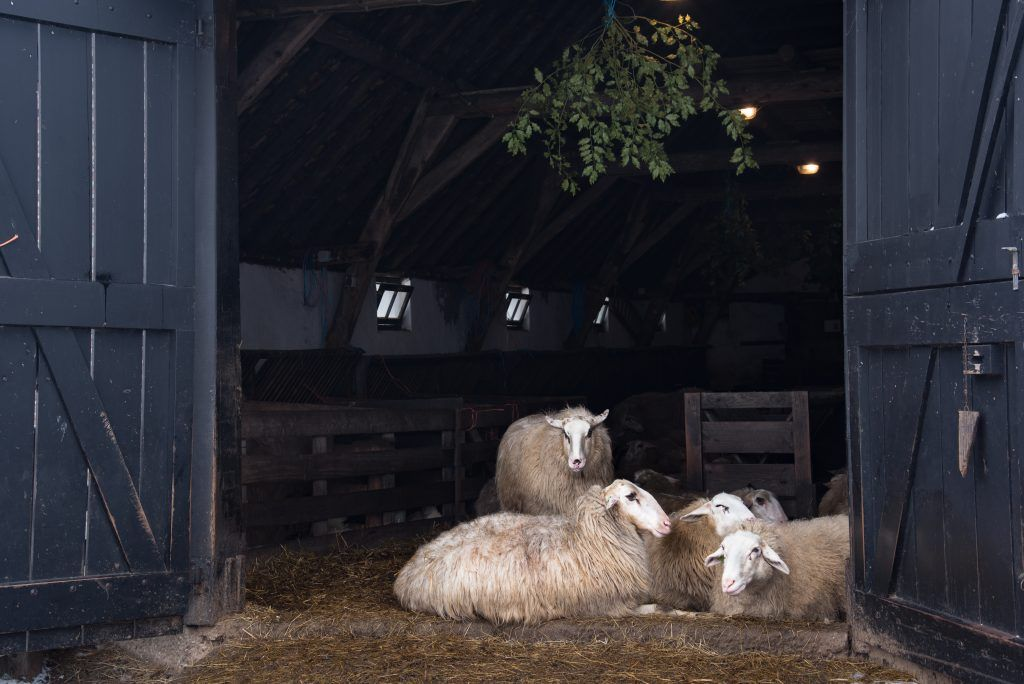 Как сделать качественную овчарню для овец своими руками