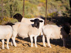 Овца Дорпер