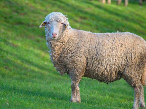Тонкорунная овца мясного типа
