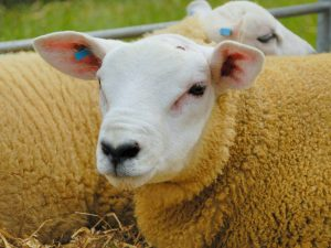 Характеристика овец породы Тексель