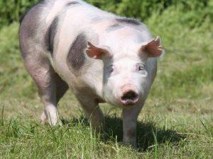 Порода свиней Пьетрен
