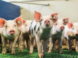Подстилки для свиней