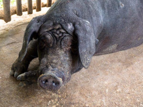 Мейшан порода свиней