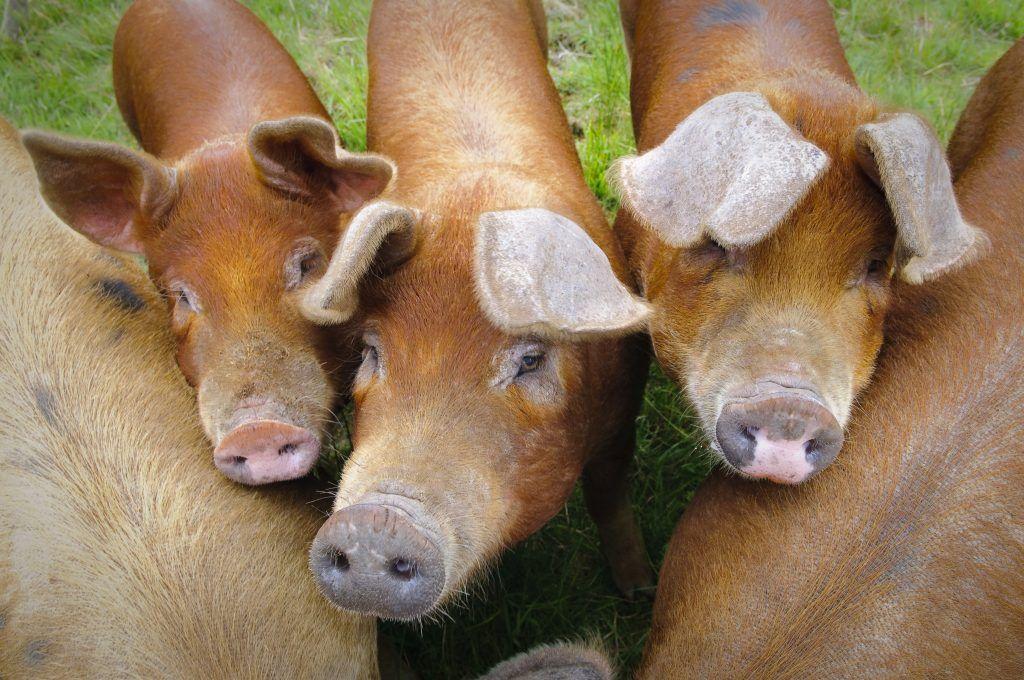 Порода свиней Дюрок: описание и характеристики породы