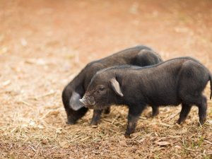 Порода свиней Кармалы