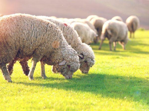 Организация кормления овец
