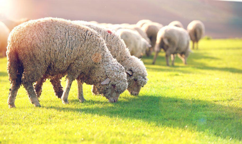 Породы овец тонкорунные: описание и характеристика