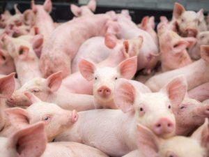 Существующие породы свиней