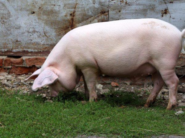 Литовская белая порода свиней
