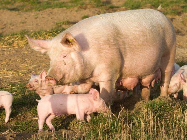 Свинья породы Украинская белая степная