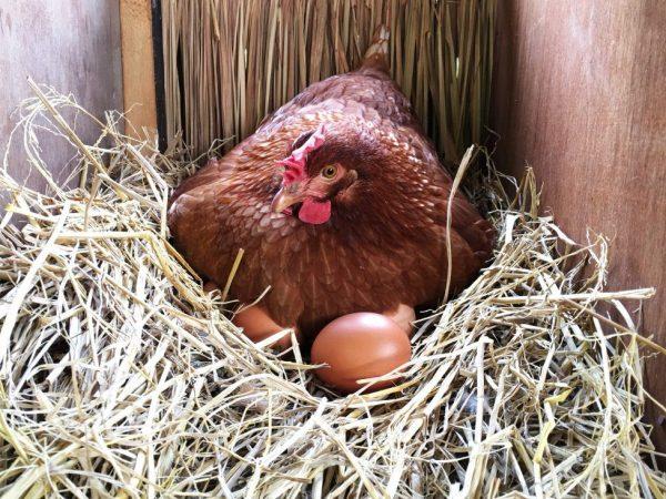 Куриц-несушек разводят для получения крупных яиц