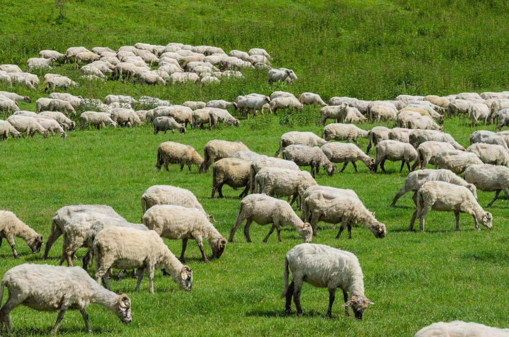 Разведение овец дома