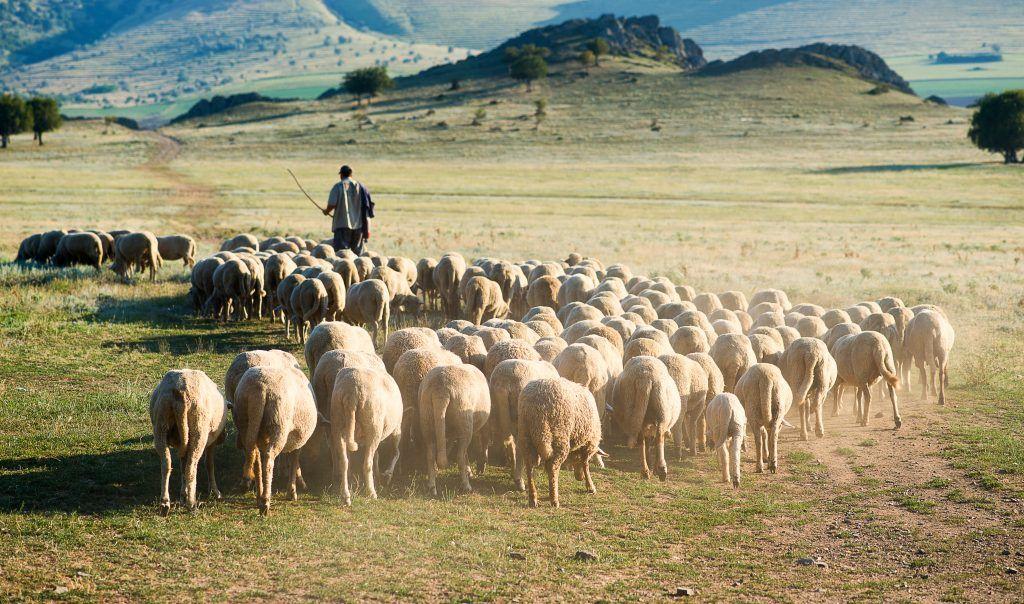 Организация выгула овец